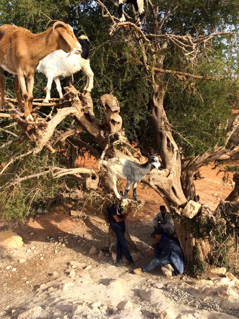 Marjana Coop Goats Morocco