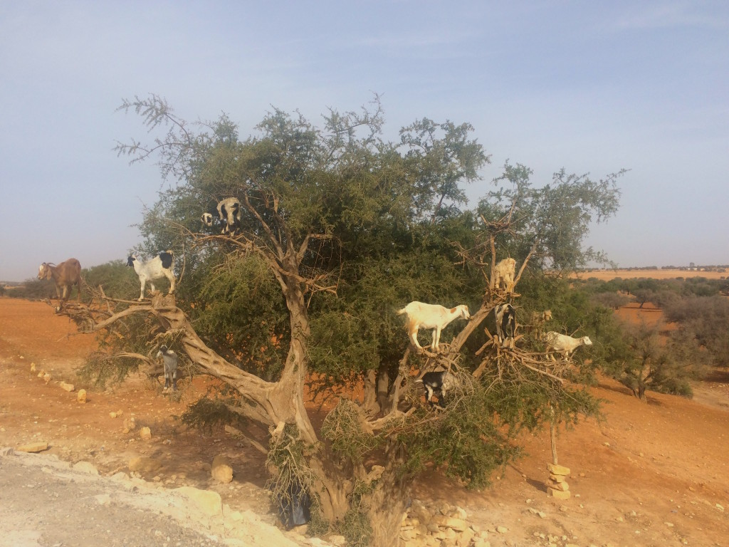 Marjana Goats in Tree Morocco