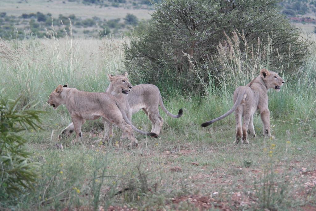 lions pilanesberg