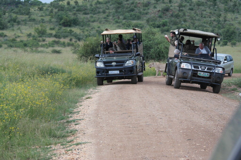 lion safari pilanesberg